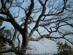 quercia secca