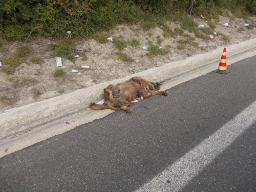 carcassa cane